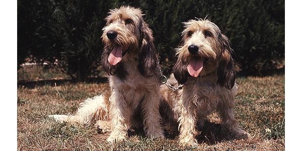 chien-grand-basset-griffon-vendeen-exterieur