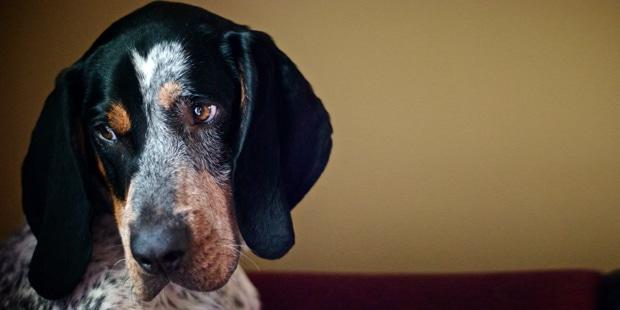 chien-grand-bleu-de-gascogne-portrait