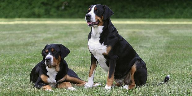 grand-bouvier-suisse-Schweizer-Sennenhund-duo