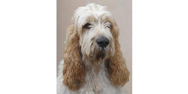 chien-grand-griffon-vendeen-portrait