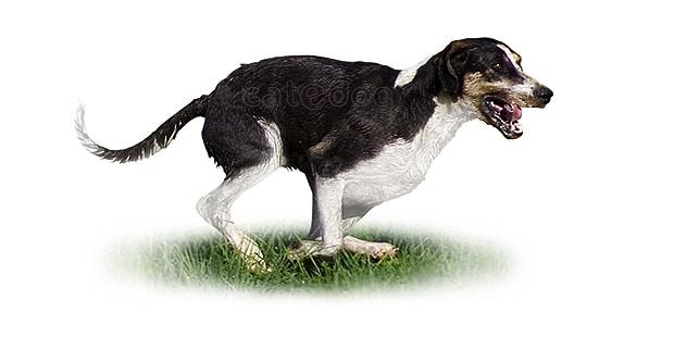 chien-grand-anglo-francais-blanc-noir