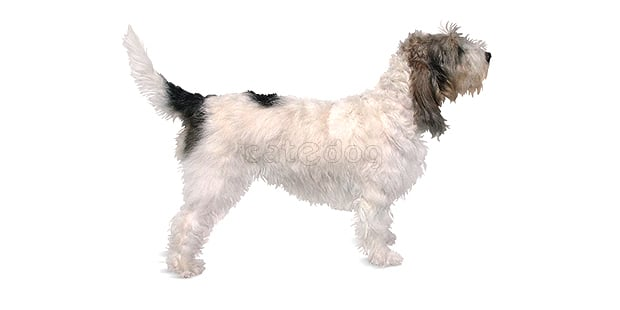 chien-grand-basset-griffon-vendeen