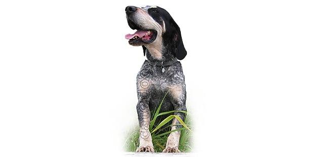 chien-grand-bleu-de-gascogne