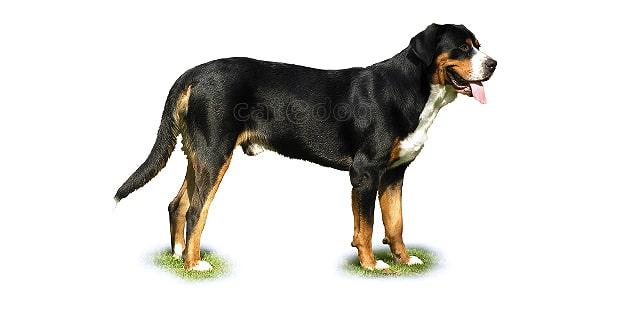 grand-bouvier-suisse-Grosser-Schweizer-Sennenhund