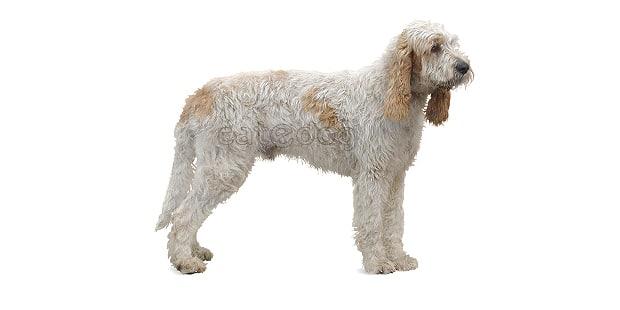 chien-grand-griffon-vendeen