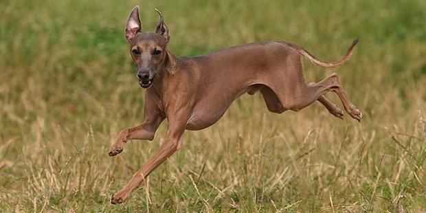 chien-greyhound-levrier-anglais-courir