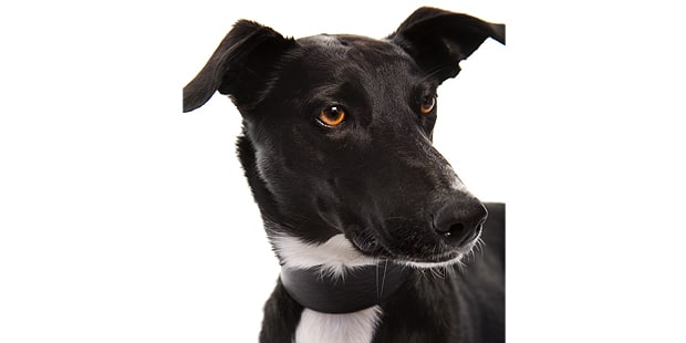 chien-greyhound-levrier-anglais-portrait