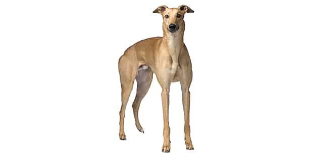 chien-greyhound-levrier-anglais-studio