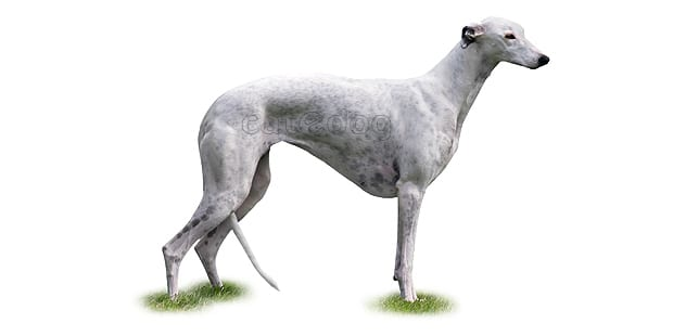 chien-greyhound-levrier-anglais