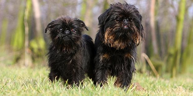 chien-griffon-belge-chiot-champs