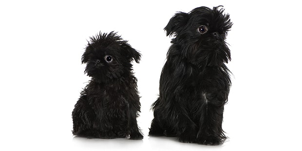 chien-griffon-belge-chiot-chienne