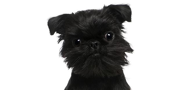 chien-griffon-belge-portrait