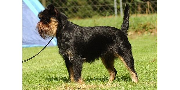 chien-griffon-belge-exterieur