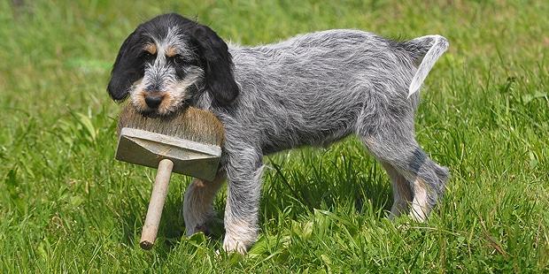 chien-griffon-bleu-de-gascogne-herbes