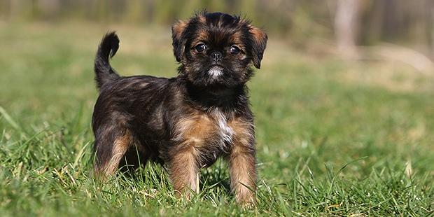 chien-griffon-bruxellois-champs