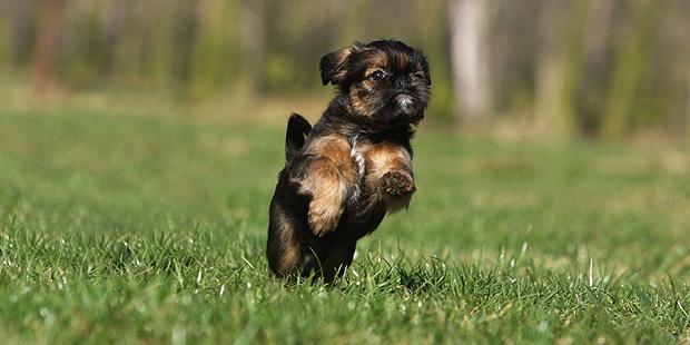 chien-griffon-bruxellois-chiot