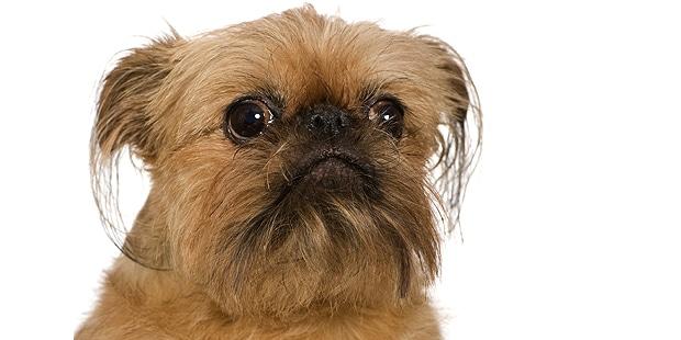 chien-griffon-bruxellois-portrait