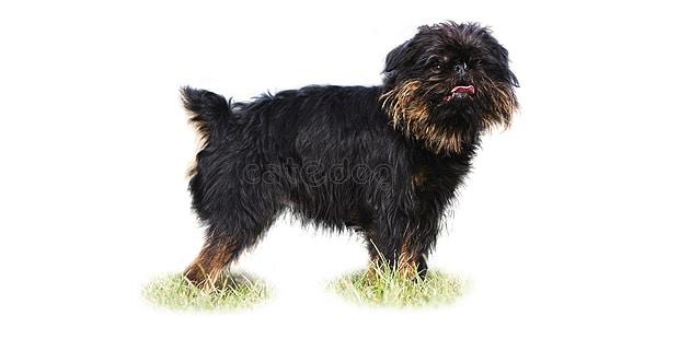 chien-griffon-belge