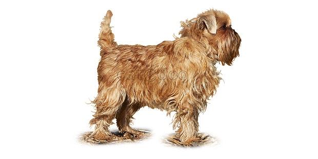 chien-griffon-bruxellois