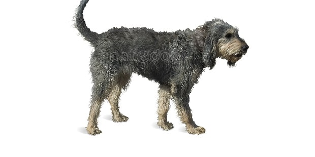chien-griffon-nivernais