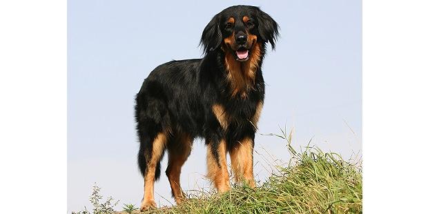 chien-hovawart-exterieur