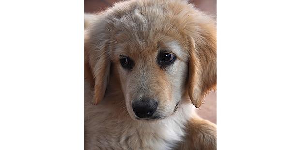 chien-hovawart-portrait-chiot