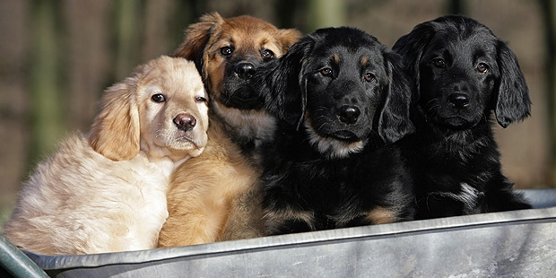chien-hovawart-chiots