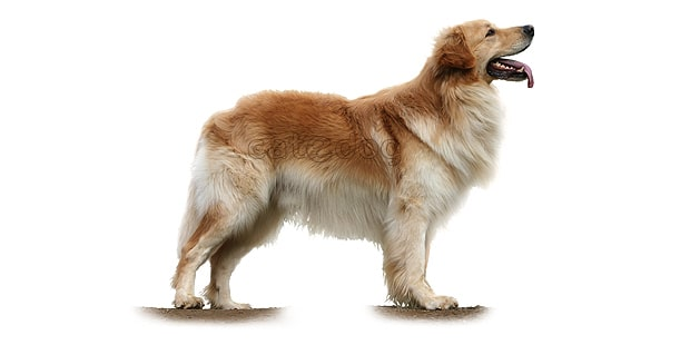 chien-hovawart