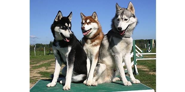 chien-husky-siberien-Siberian-husky-agility
