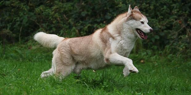 chien-husky-siberien-Siberian-husky-courir