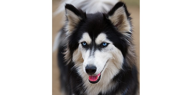 chien-husky-siberien-Siberian-husky-portrait