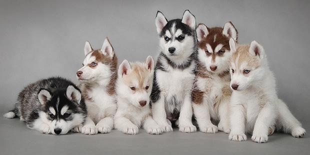 chien-husky-siberien-Siberian-husky-chiots