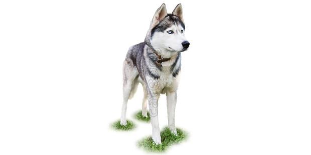 chien-husky-siberien-Siberian-husky
