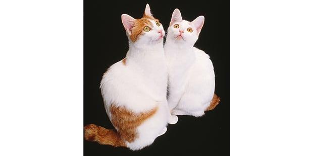 japanese-bobtail-japonais-couple