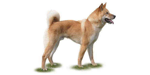 jindo-coreen-Korean-Jindo-Dog