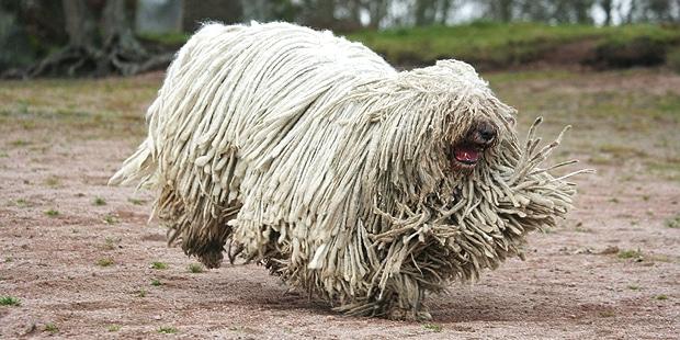 chien-Berger-Hongrois-komondor-kiraly-courir