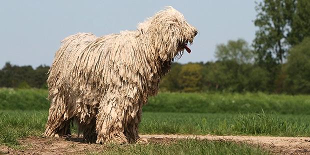 chien-Berger-Hongrois-komondor-kiraly-exterieur