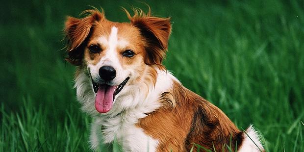 chien-kromfohrlander-champs