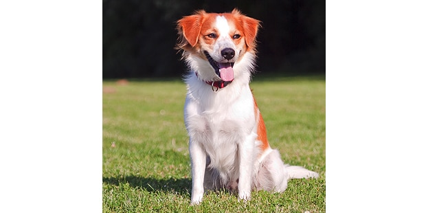 chien-kromfohrlander-pelouse