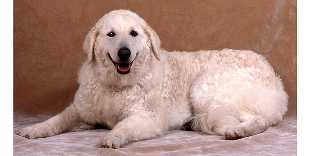 chien-kuvasz-hongrois-couche