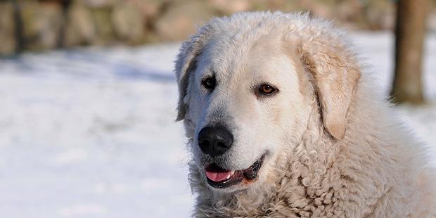 chien-kuvasz-hongrois-neige