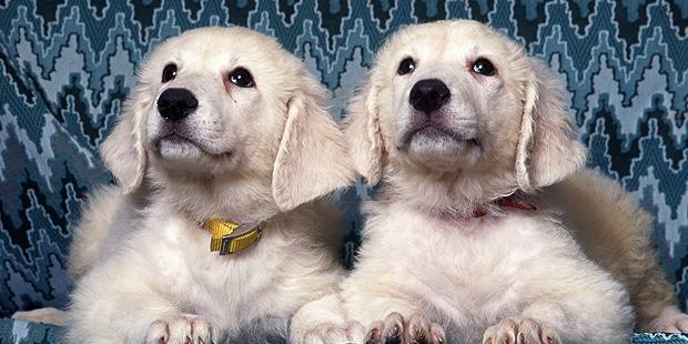 chien-kuvasz-hongrois-chiots