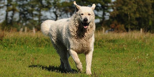 chien-kuvasz-hongrois-champs