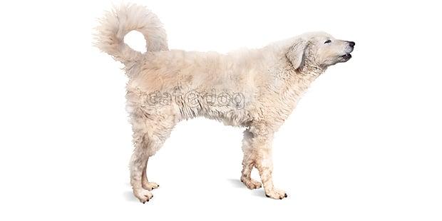 chien-kuvasz-hongrois