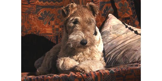 chien-lakeland-terrier-canape