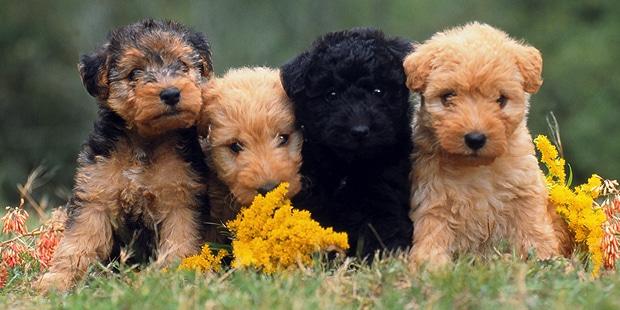 chien-lakeland-terrier-chiots