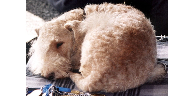 chien-lakeland-terrier-couche
