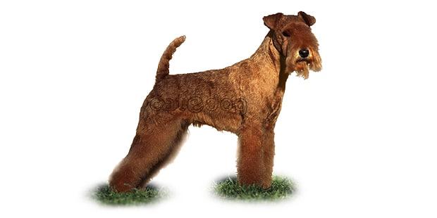 chien-lakeland-terrier