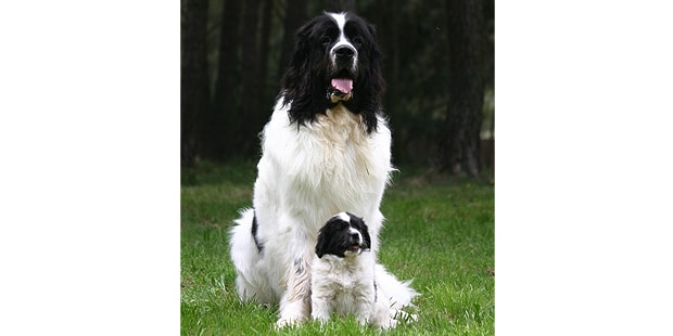 chien-landseer-type-Continental-Europeen-foret