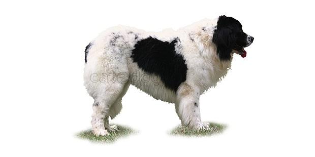chien-landseer-type-Continental-Europeen